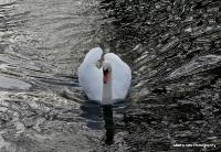 swans_17