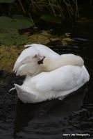 swans_19