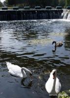 swans_1
