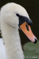 swans_20