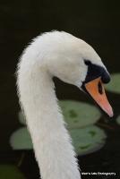 swans_21