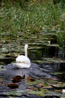 swans_22