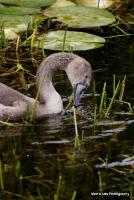 swans_23