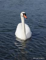 swans_24