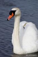swans_25