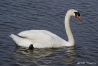 swans_26