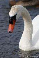 swans_27