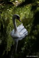 swans_29