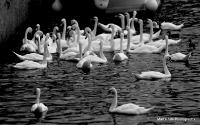 swans_30