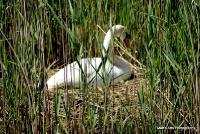 swans_36