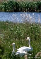swans_37