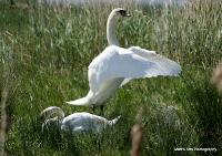 swans_38
