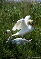 swans_39