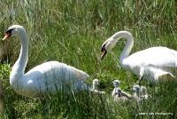 swans_40