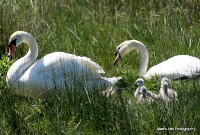 swans_41