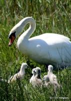swans_42