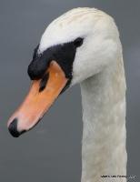 swans_4
