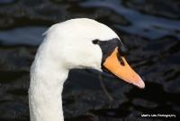 swans_8