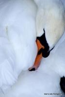 swans_9