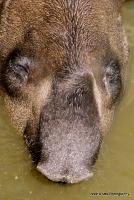 tapirs_11