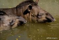 tapirs_13