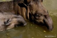 tapirs_14