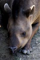 tapirs_1