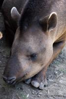 tapirs_2