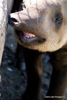 tapirs_3