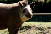 tapirs_4