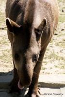 tapirs_5