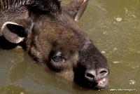 tapirs_7