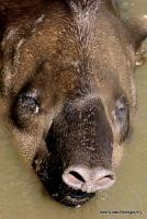 tapirs_8