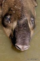 tapirs_9